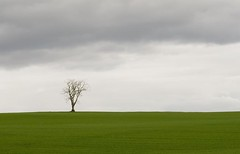 Lone Tree in Green Field -Tayside Scotland (Magdalen Green Photography) Tags: nature scotland pretty simplicity tayside proportions cloudyday coolgreen 9852 calmnaturescene iaingordon magdalengreenphotography lonetreeingreenfield