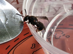 A spoonful of sugar helps the wasp perk up (myopixia) Tags: wasp potterwasp myopixia resinwasp