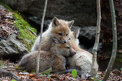 Pile of Tired Kits... (Jim Salge) Tags: sleeping spring slumber newengland newhampshire nh fox kits snooze naptime foxes redfox foxkits youngfoxes