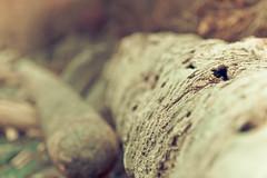 driftwood (aaronleevani) Tags: wood canada texture beach canon dof bc bokeh britishcolumbia logs victoria driftwood manualfocuslens tamronsp90mm25 tamronsp90mmf25 tamronadaptall2sp90mmf25 rebelxsi