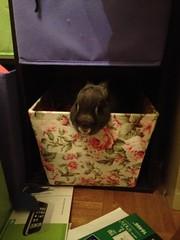 Pepper being cute (Poddiepea) Tags: bunnies pepper