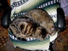 Paul and Beck sharing my office chair on a cool morning (Hairlover) Tags: pet cats pets public cat kitten kitty kittens kitties threeleggedcat allcatsnopeople 22yearoldcat