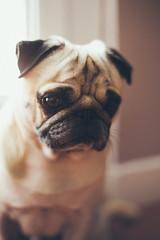 Loul (Jean DUVAL) Tags: dog chien canon takumar f14 pug ii 5d mm 50 mk carlin loul