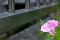 convolvulus - ひるがお (turntable00000) Tags: flower japan river photography tokyo sony stock promenade 365 moment 花 nerima gettyimages takashi shakujii nex 川 convolvulus 366 練馬 石神井 kitajima 遊歩道 ひるがお turntable00000