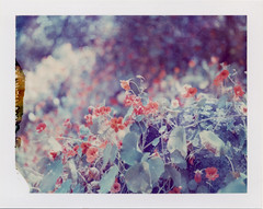 (daveotuttle) Tags: flowers sandiego expired packfilm polaroid669 polaroid195 natureycrap