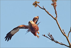 The Decisive Moment (jo92photos) Tags: redkite tree raptor birdofprey flying takeoff takingoff alighting launching ©allrightsreserved wildlifecountryside wildlife rural jo92photos england countrylife countryside bradfield bird berkshire hs20exr hs20 fuji ngc npc 522012week21 giveusyourbestshot challengegamewinner 15challengeswinner