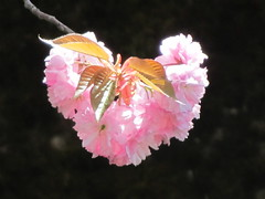 Sakura Heart (M_Strasser) Tags: schweiz switzerland suisse cherryblossom sakura bern berne kirschblten
