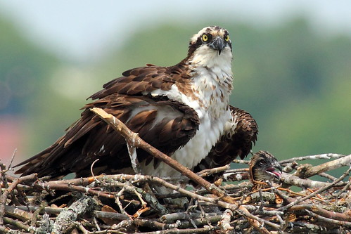Osprey Mother and Chick 2