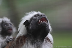 Lisztaffe (Saguinus oedipus) (hellboy2503) Tags: canon photography tiere photo essen images hunger 7d ape getty creatures tier gettyimages jrg kreatur affe schrei schreien 100400 lisztaffe gettyimagescallforartists gettyimagesartistpicks hellboy2503