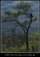 sea eagle (rowanlea51) Tags: