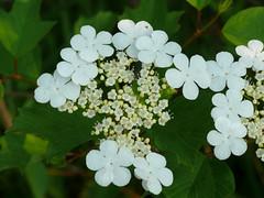 American Cranberrybush Flowers - Viburnum trilobum (midimatt) Tags: wisconsin wi newburg highbushcranberry viburnumtrilobum riveredge highbush kalyna ozaukee americancranberrybush riveredgenaturecenter mattdrollinger matthewdrollinger