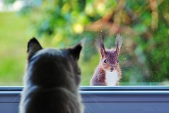 ~~Thomas et l'cureuil...!~~ (Jolisa) Tags: window nature animal cat fun nikon squirrel chat thomas gato fentre katz vitre cureuil drle catnipaddicts croquenature blinkagain bestofblinkwinners highqualityanimals mai2012