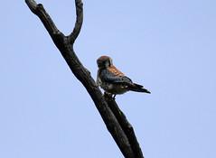American Kestral (K Fletcher) Tags: canada calgary bird american raptor alberta inglewood kestral