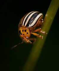 False Potato Beetle (J Gilbert) Tags: newjersey sanctuary audubon bernardsville schermanhoffman falsepotatobeetle leptinotarsajuncta