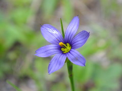 Blue-Eyed Grass, Fayette 1 (RonG58) Tags: pictures new trip travel flowers light plants usa plant flower nature forest landscape geotagged botanical photography photo spring woods day image photos maine picture images photograph wildflowers fayette blueeyedgrass wildplants floralfantasy thegalaxy fugifilm topshots mixedflowers photosandcalendar flowersarebeautiful macroelsalvador macroflowerlovers exquisiteflowers mimamorflowers floraanffaunaoftheworld flickrflorescloseupmacros panoramafotografico greatshotss mainewildflowers natureandpeopleinnature theoriginalgoldseal esenciadelanaturaleza finepixhs20exr magicmomentsinyourlife sunrays5 flickkrsportal magicmomentsinyourlifelevel1 rong58
