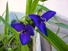 TRADESCANTIA (Margcoss) Tags: flowers blue nature natura fiori tradescantia erbamiseria sonysti rememberthatmomentlevel1 rememberthatmomentlevel2
