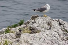 Gabbiano e famiglia (fiat1100d) Tags: sea rocks mare seagull chicks gabbiano adriatico scoglio pulcini