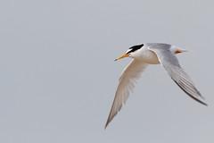 Little Tern 2 (Allan Dean) Tags: birds canon eos coast flight coastal shore 7d tern shorebirds 400mm rspb littletern canoneos7d