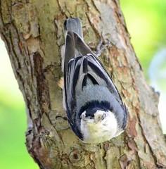 DSC_0119 (w0lflady) Tags: bird nuthatcher