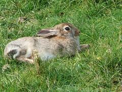 Rabbit for Roobit (Nobby knipst) Tags: meer nordsee kaninchen panasonicdmcfz50