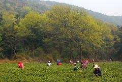 tea-picking-4 (湖光虾影) Tags: china wuxi jiangsu chinesetea 无锡 teapicking 茶叶 中国茶 采茶 斗山 大浮