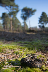 Adder (elliot.hook) Tags: snake wildlife british reptiles adder vipera berus