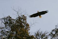 Flight (G Michael Lewis) Tags: trees bird nature animals forest outdoors midwest eagle wildlife flight baldeagle feathers missouri naturalbeauty ozarks avian