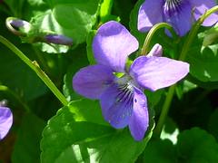 Wald-Veilchen (Jrg Paul Kaspari) Tags: eifel blte viola wanderung vulkaneifel lieser lieserpfad reichenbachiana waldveilchen liesertaltour
