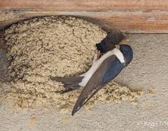 En plein travail de maonnerie ;-) (Rgis B 31) Tags: bird oiseau arige commonhousemartin mazres hirondelledefentre delichonurbicum passriformes hirundinids domainedesoiseaux