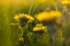 Dandelions (frantiekl) Tags: plant flower detail green nature colors yellow spring blossom bokeh outdoor meadow pasture czechrepublic flowering serene bohemia tenderness dandelions kvtiny colorsofnature proda