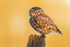 Little Owl at Sunset (Steve Mackay) Tags: bird nature birds animal animals wildlife littleowl stevemackay