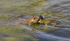 2016-05-06 - 15.40.08 - _L5B2271 - 2 (Rossell' Art) Tags: pad frog toad sapo rana frosch grenouille kikker rano bufo r krte crapaud  rospo doodebemde batracien