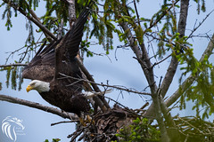 Bald Eagles of Shark River | 2016 - 119 (RGL_Photography) Tags: nature birds us newjersey unitedstates eagle wildlife baldeagle monmouthcounty godblessamerica jerseyshore ornithology mothernature raptors haliaeetusleucocephalus birdsofprey gardenstate americanbaldeagle walltownship wildlifephotography sharkriver nikond500 nikonafs200500mmf56eedvr