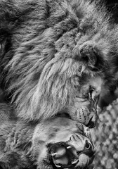 DSC_1437-Edit-2 (craigchaddock) Tags: 2 monochrome lion pro nik sandiegozoo etosha mbari pantheraleo efex blackandwhitebwsilver