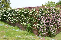 roses in abundance #2 (snowshoe hare*) Tags: flowers flower rose botanicalgarden abundance nemophila climbingrose saponaria soapwort newdawn dsc0879        tsuruharugazumi