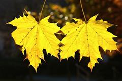 D71_1160A (vkalivoda) Tags: autumn texture leaves automne gold leaf pattern bokeh herbst depthoffield foliage serene mapleleaves otono javor zlato dautunno organicpattern justleaves macromondays bokehleaves