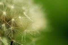 Fragile, be careful (Northern_Night_Sky) Tags: white macro green nature dof bokeh outdoor sunny dandelion depthoffield graden dmuchawiec clodeup natureisbeautiful