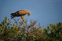 Eagle in the tree (knipslog.de) Tags: africa southafrica eagle wildlife urlaub adler safari sdafrika krugernationalpark bigfive big5 suedafrika krgernationalpark