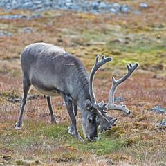199 Day 3 Svalbard (brads-photography) Tags: grass walking reindeer one wildlife svalbard arctic caribou grazing spitsbergen rangifertarandusplatyrhynchus ingeborgfjellet