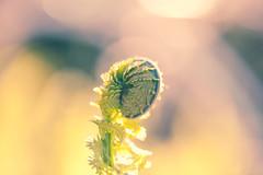 Curls ~ (Ernie Kwong Photography) Tags: life light plant toronto fern macro nature canon outdoors soft dof bokeh earth pastel curls 100mm dreamy 28 fiddleheads edwardsgarden pastal