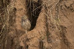 ATU_5106_Coruja Buraqueira_LR (Ana Taemi) Tags: bird wildlife natureza ave owl coruja sopedro athenecunicularia burrowingowl corujaburaqueira
