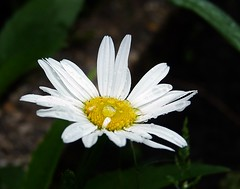 2016-05-22 jardin (12)f (april-mo) Tags: flower whiteflower daisy marguerite