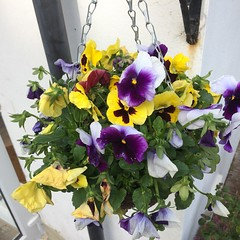 Deadheading alt (westsussexwaste) Tags: summer gardening recycle compost recycling composting hangingbasket deadheading
