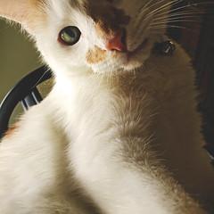 167 | 366 | V (Randomographer) Tags: pet cute face up animal cat fur nose furry friend kat feline close fuzzy kitty whiskers gato catus katze  macska companion  con koka  167 katt felis kissa iphone kttur kucing mo   366   project366