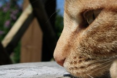Boop (50/116) (jofolo) Tags: ginger whiskey 50116 gingercatbomb