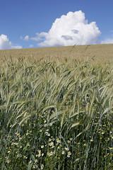 Wolkenstimmung ber dem Mhlviertel (rubrafoto) Tags: outdoor sommer landwirtschaft wolken wetter stimmung getreide mhlviertel ottensheim wolkenstimmung getreidefeld ooe witterung wolkenhimmel wetterbild sommerlandschaft