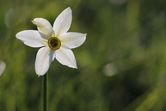 Semplicit (lincerosso) Tags: flowers primavera fiori montagna luce bellezza semplicit armonia narcissuspoeticus colder prateriemontane narcisodelpoeti