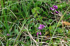 Purple Sweet Violets ? (tiger289 (The d'Arcy dog supporters club)) Tags: trees horses plant flower field grass landscape westsussex outdoor wildlife hill farming highpoint jockeys views fields pastures wildflowers vistas agriculture shrub grassland bushes flint stables stoneage neolithic observationpoint gorse ironage breeders studfarm racehorses cissbury downland amazingview hikingtrails cissburyring findon osbm findonvillage flintmines cissburyhillfort osbms4047 findongallops