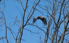 Through The Trees (Ktach.us) Tags: blue heron nature birds nikon wildlife flight wetlands bif 70300 d7200