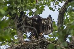 BALD EAGLES NESTING ON LEVEE RD., BROOKVILLE IN. (nsxbirder) Tags: baldeagle indiana juvenile haliaeetusleucocephalus brookville whitewaterriver leveeroad